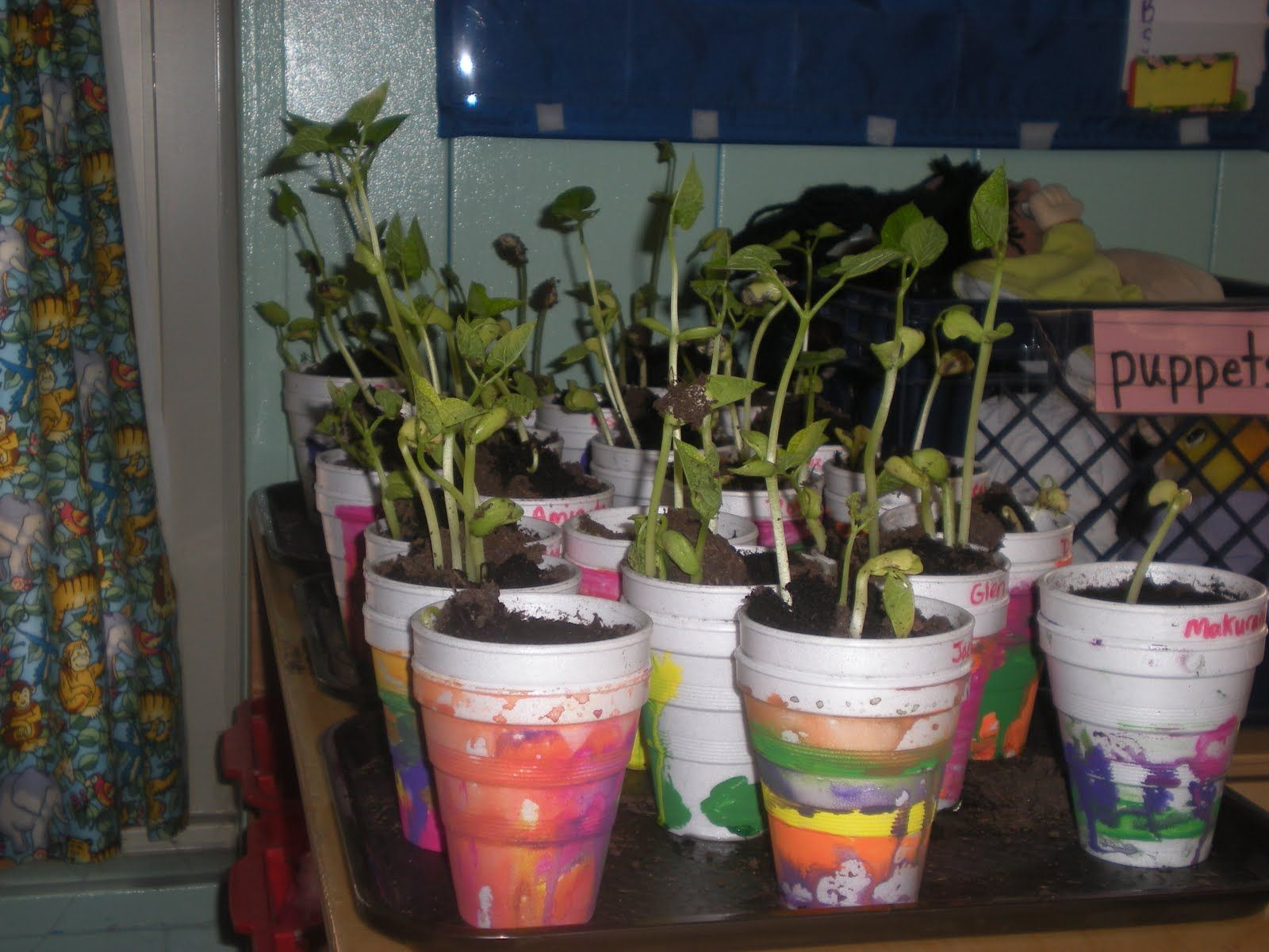 Classroom Lima Bean Plants In Styrofoam Cups