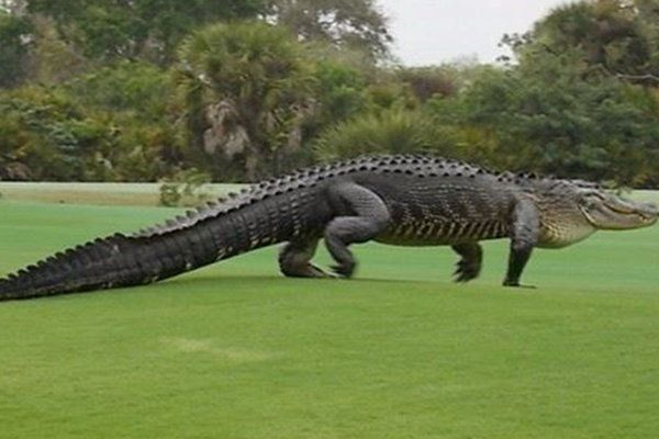 Nbc Today Show Photos Of 13 Foot Gator On Golf Course Go Viral Florida Golf Courses Golf Courses American Alligator