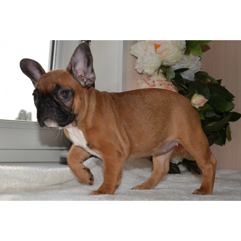 Ryzhaya Krasotka French Bulldog Puppies French Bulldog French