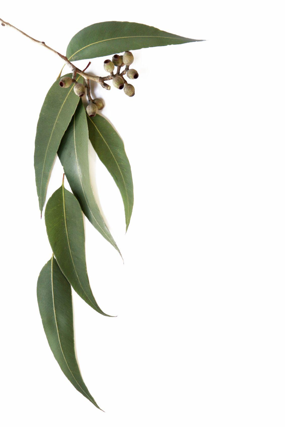 Eucalyptus Leaves Australian Flowers Australian Native Plants