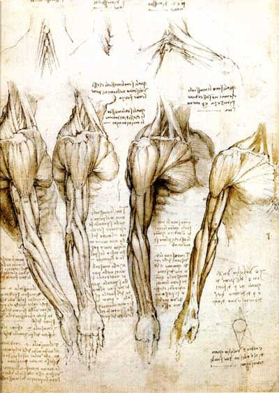 da Vinci, arm and shoulder muscles of the right arm from the front ...