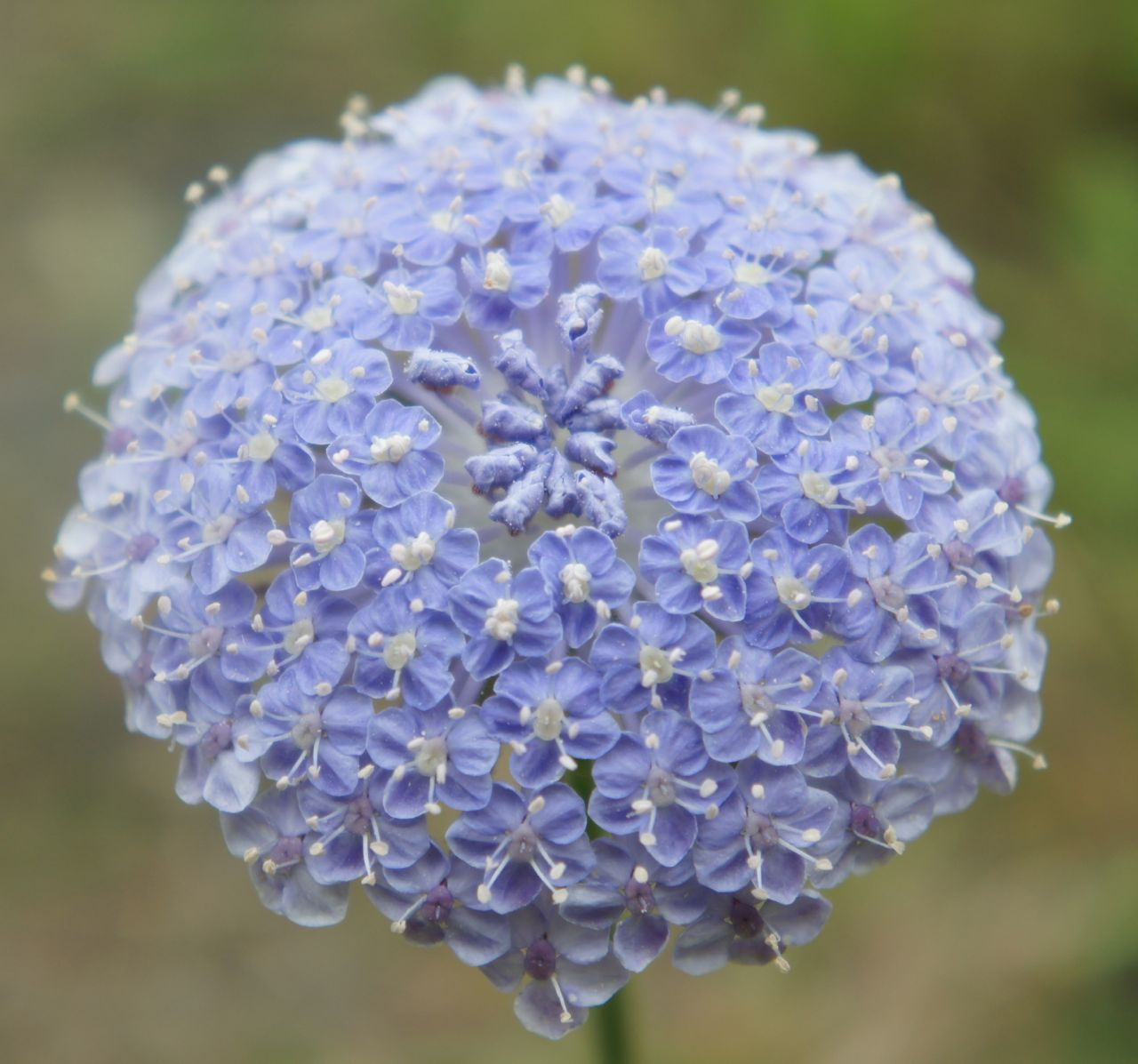 Foragefor News Blue Lace Flower Flower Seeds Cheap Flowers Lace Flowers