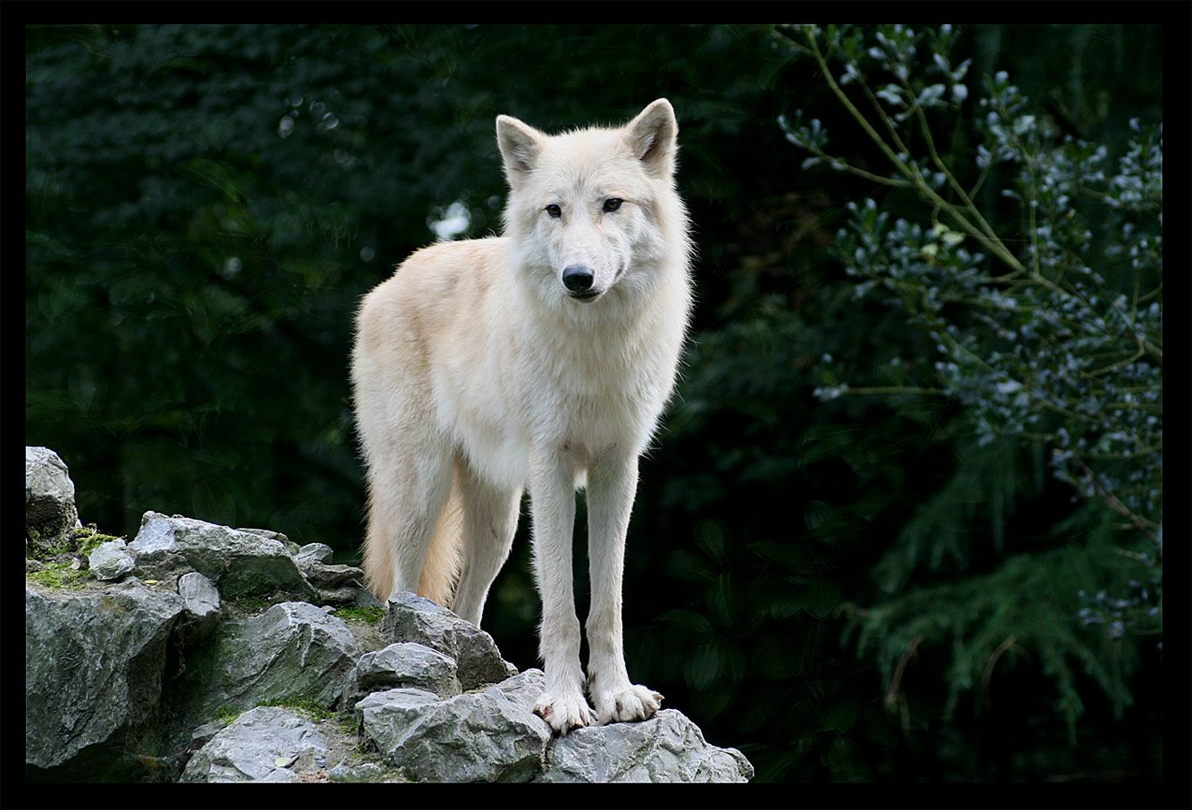 pictures of white wolves | The white wolf by Lunchi