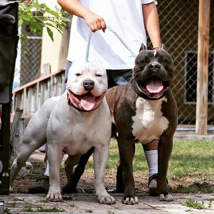 By Americanbully Perros