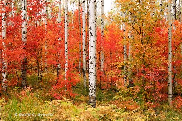 Maple and Aspen Trees, Wasatch Mountains, Utah