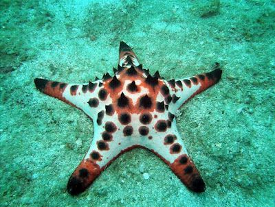 Chocolate Chip Sea Star Protoreaster Nodosus Beautiful Sea Creatures Starfish Sea Creatures