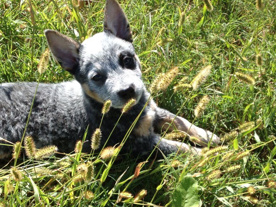 8 Week Old Cattle Dog