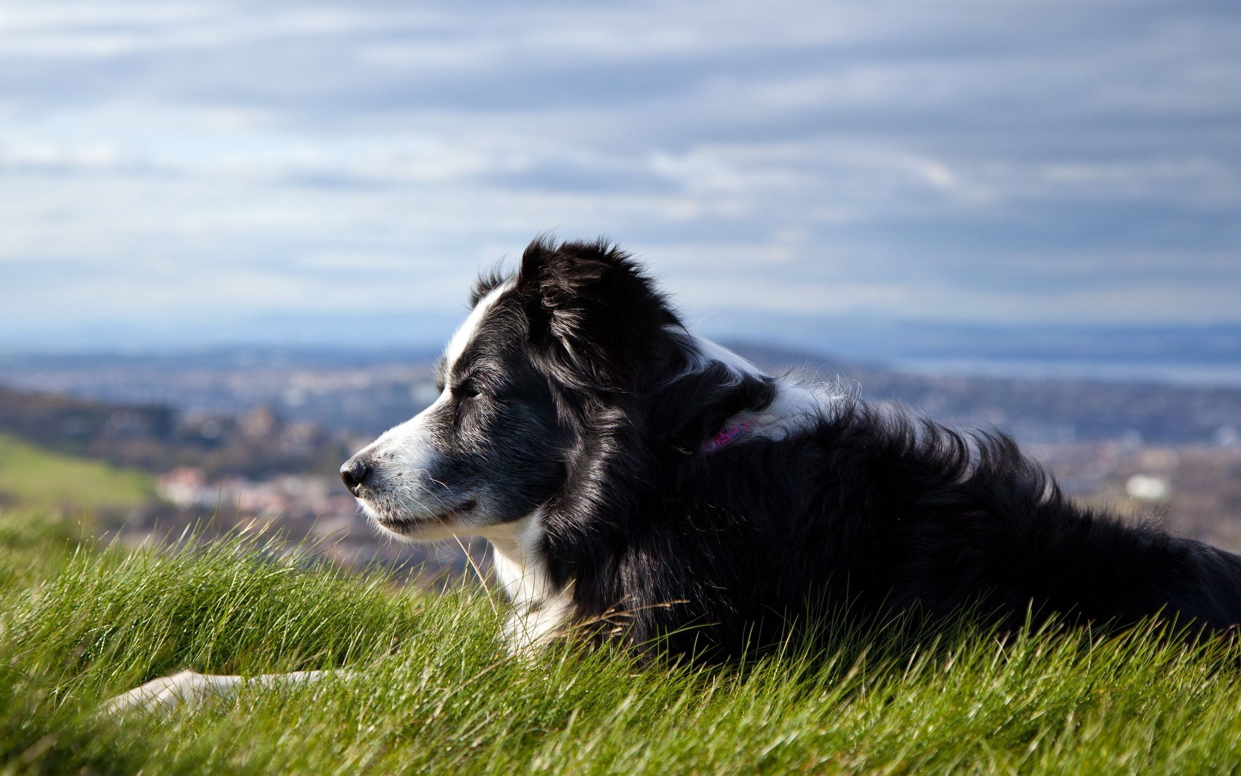 Border Collie Wallpapers Android Apps on Google Play