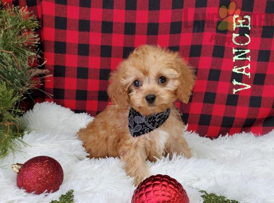 VANCE (VIDEO CLIP) Cavapoo Puppy for Sale in Millersburg