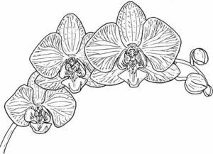 Free Orchid Coloring Sheets In April Lucid Publishing Coloring Book Art Orchid Color Orchids