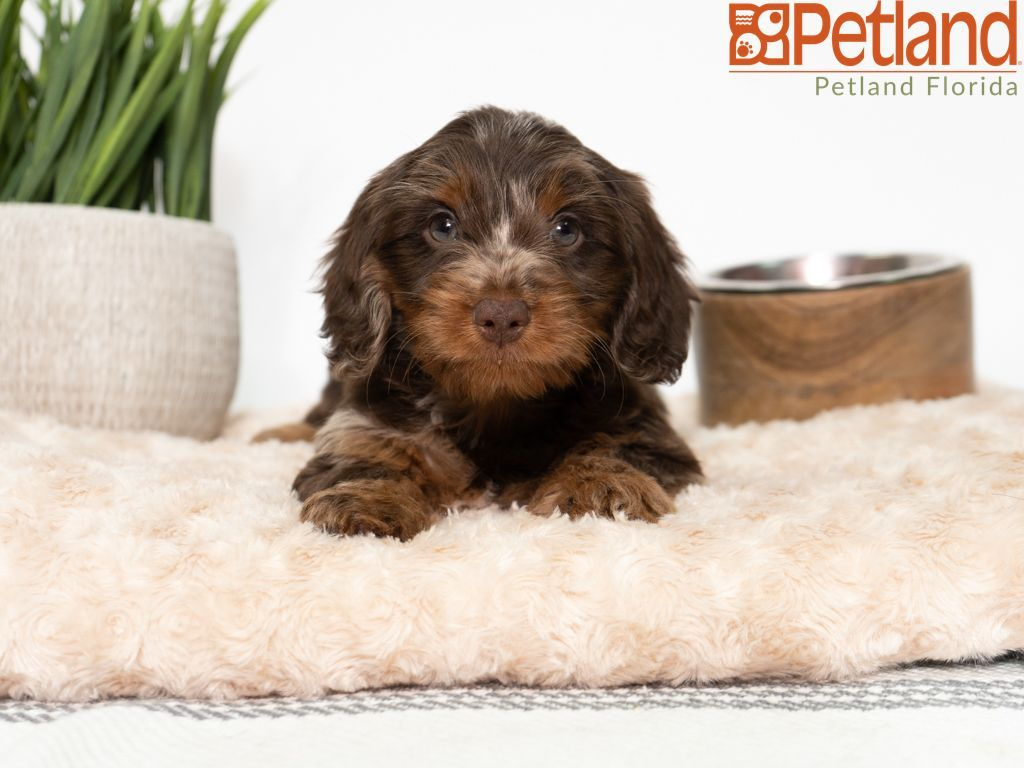 Puppies For Sale Dachshund Puppies For Sale Dachshund Puppies Dog Lovers