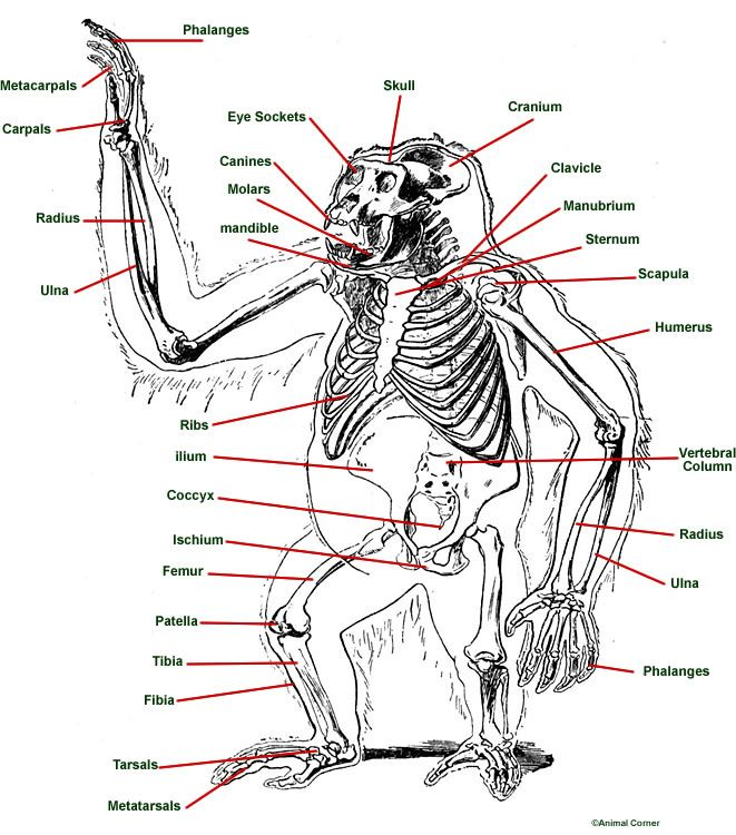 Diagram Of Gorilla Anatomy 1 Pinterest Anatomy Animal Anatomy