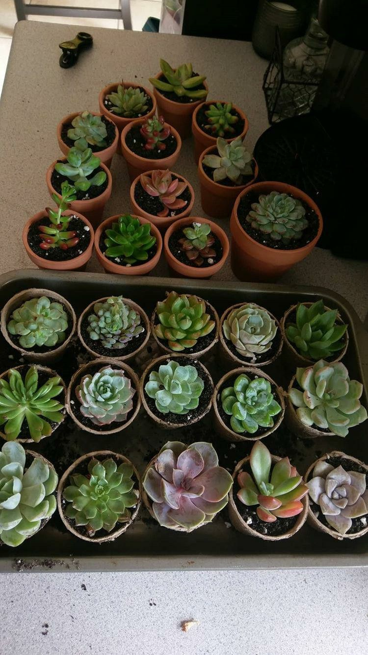 Bottom watering put your succulents in a tub and fill it