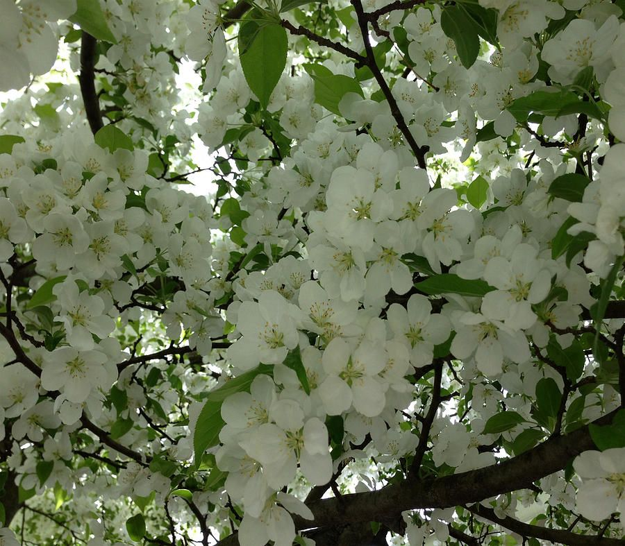 100 Tree With White Flowers That Smell Good Fields Of Flowers