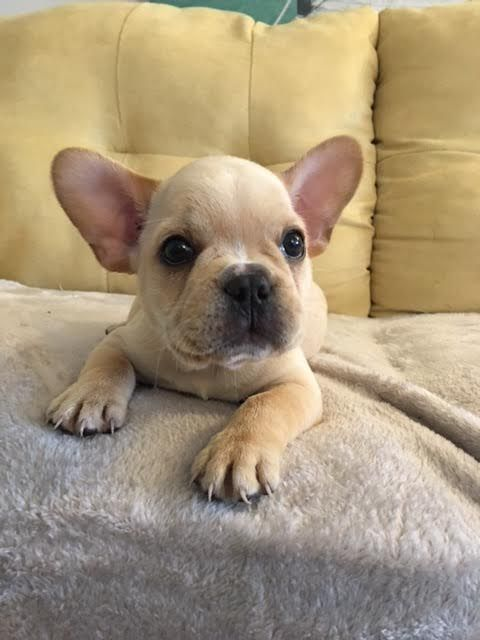 French Bulldog Puppy For Sale In Richmond Va Adn 21582 On