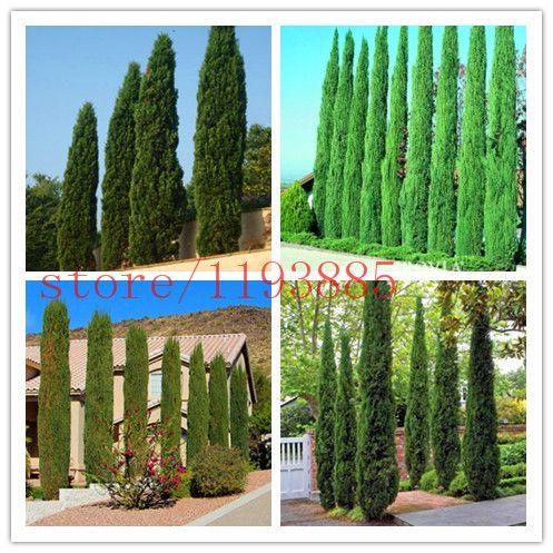 Online Shop Tree Seeds 100 Pcs Italian Cypress Cupressus Sempervirens Stricta Seeds Home Gardening Tree Seeds Italian Cypress Trees To Plant