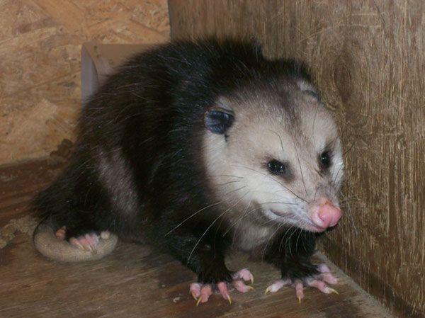 Possum How To Get Rid Of Possum Problems