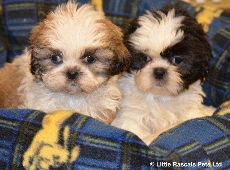 Stunning Shih Tzu Boys And Girls Pedigree Puppies For Sale