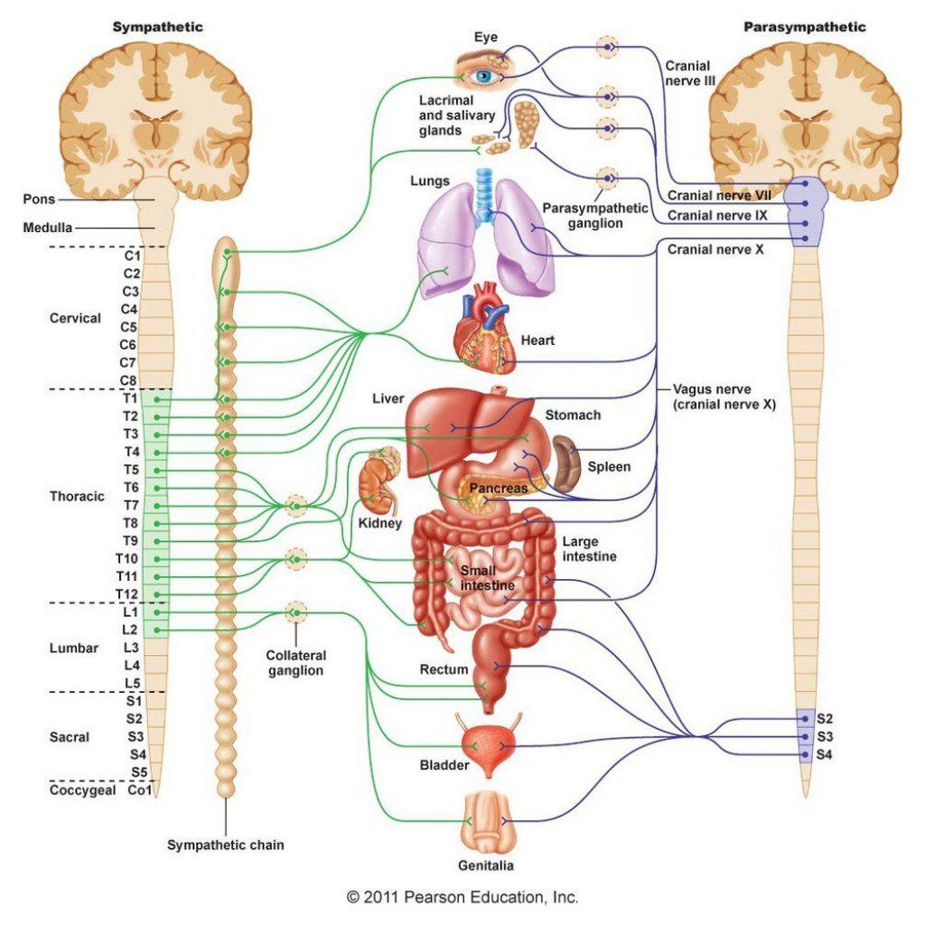 Central nervous system structure human physiology structure and central nervous system structure human physiology structure and function of the nervous system i ccuart Gallery
