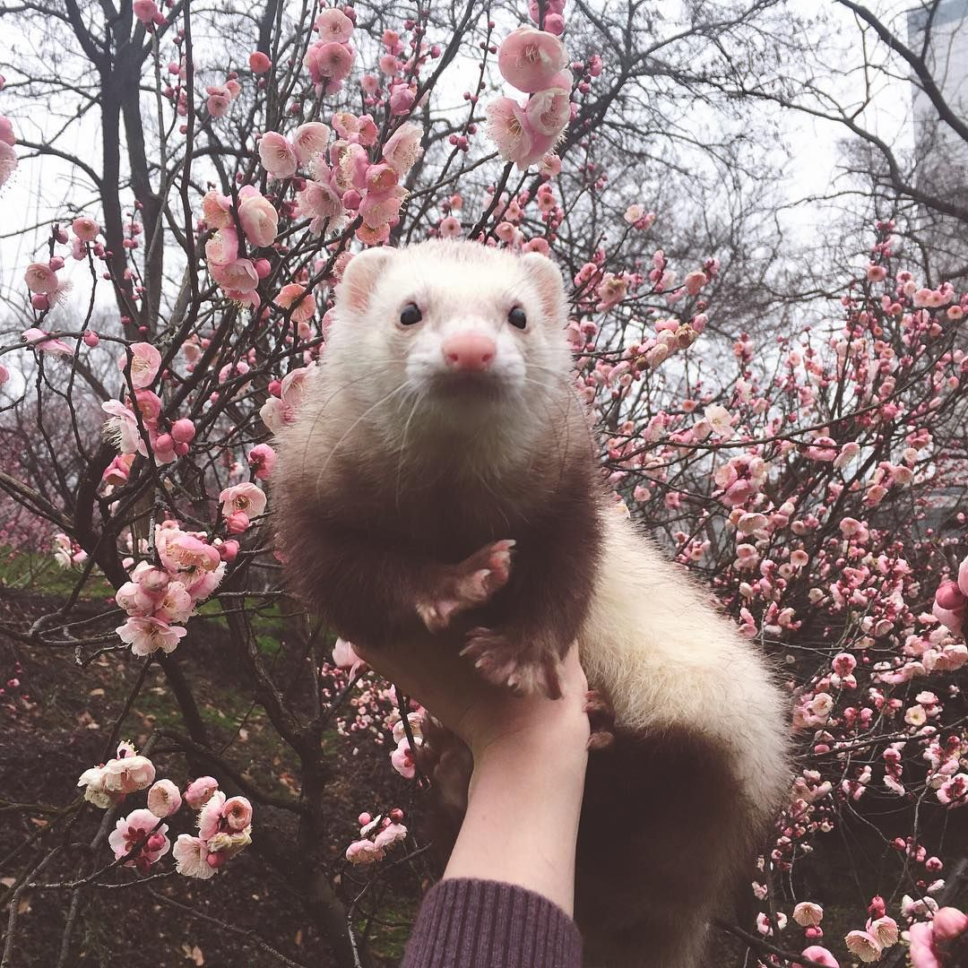Looks Just Like My Nylah Cute Ferrets Cute Animals Animals