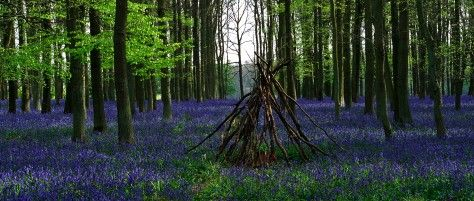 The sapphire of the bluebells contrast with the emerald green colors from the newly emerging foliage of the beech trees in the spring landscape.