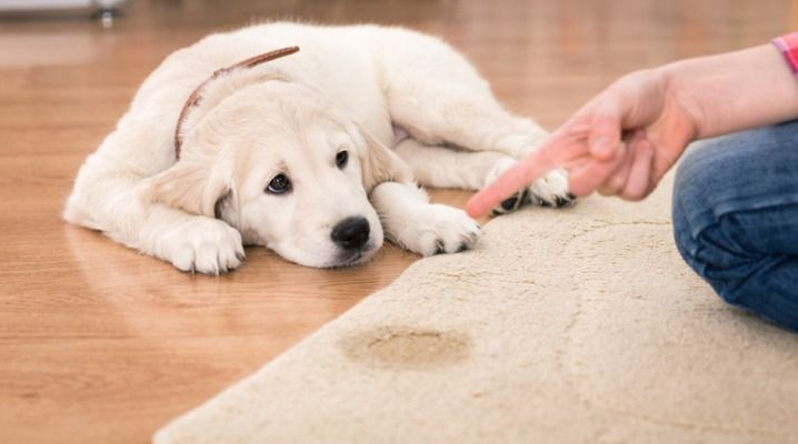 Why Is Your Dog Suddenly Peeing In The House Even Well Behaved