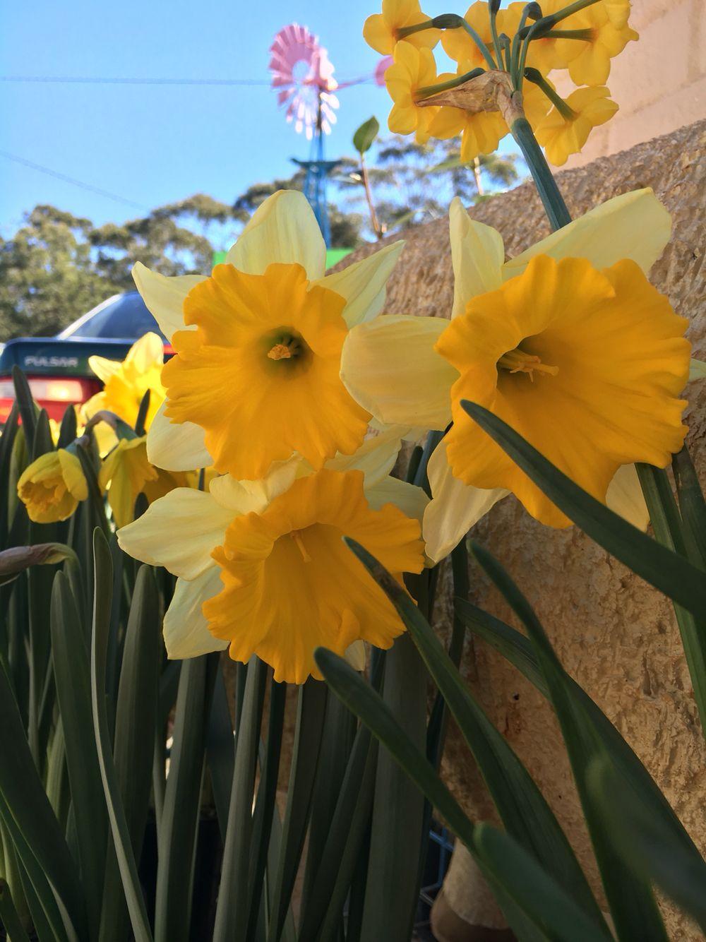 Stunning money maker daffodils flowering now!