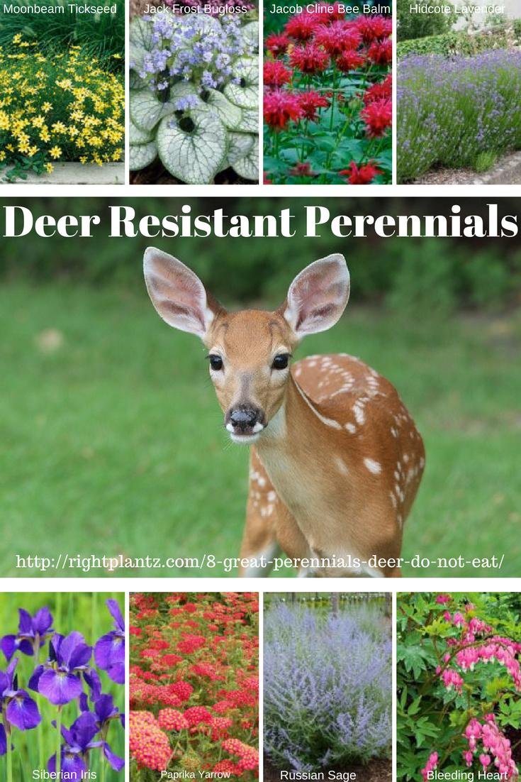 8 great perennials deer do not eat garden blogs pinterest deer 8 great perennials deer do not eat try these deer resistant perennials in your garden izmirmasajfo