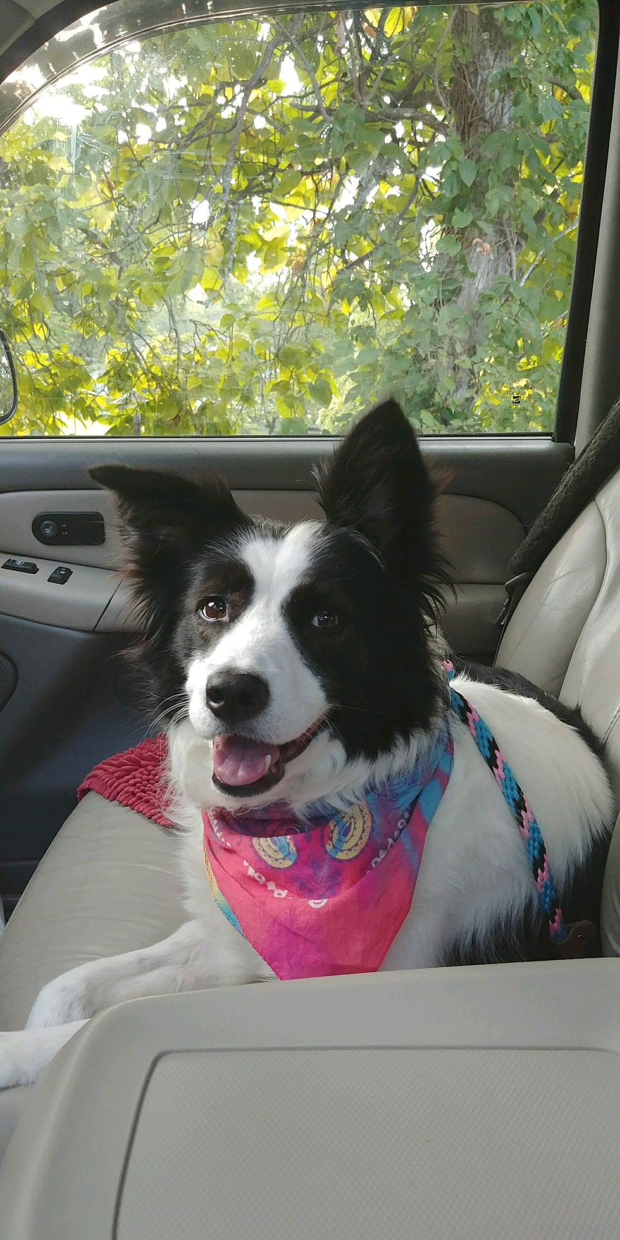 Border Collie dog for Adoption in Columbus, IN. ADN671251