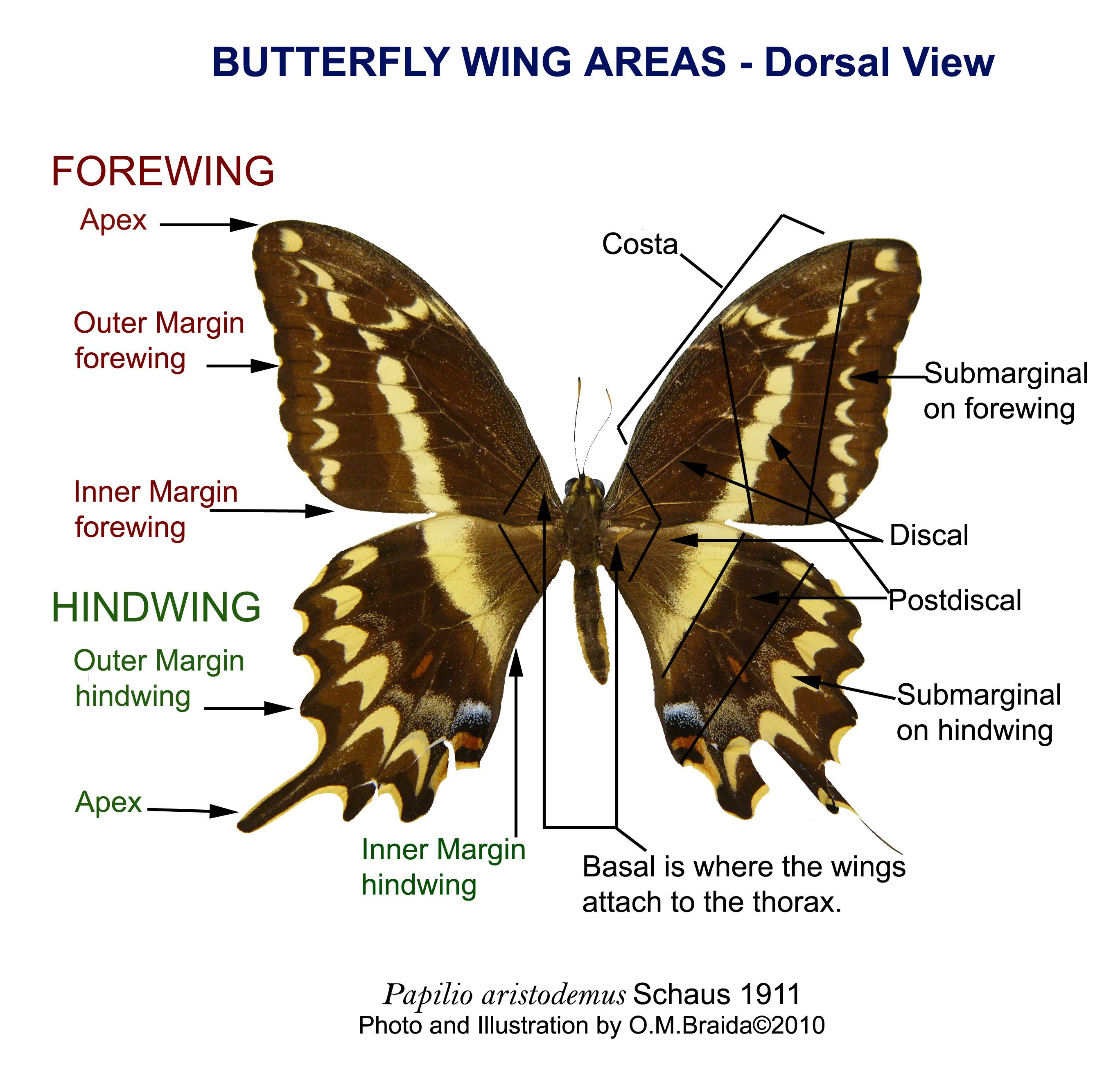 Parts Of A Butterfly Diagram Nissan Pulsar N15 Stereo Wiring Wing Labels Http Myartteacher Wp