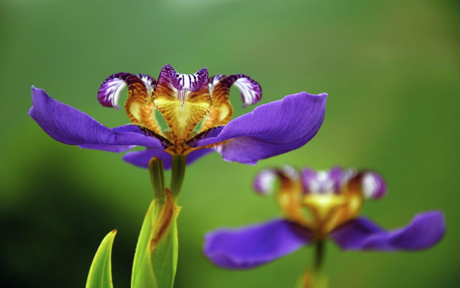 undefined Iris flowers, Flower wallpaper, Flower meanings
