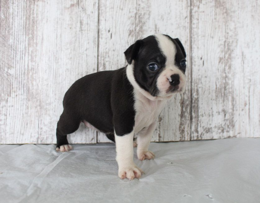 English Bulldog Puppies For Sale And Dogs For Adoption In Illinois