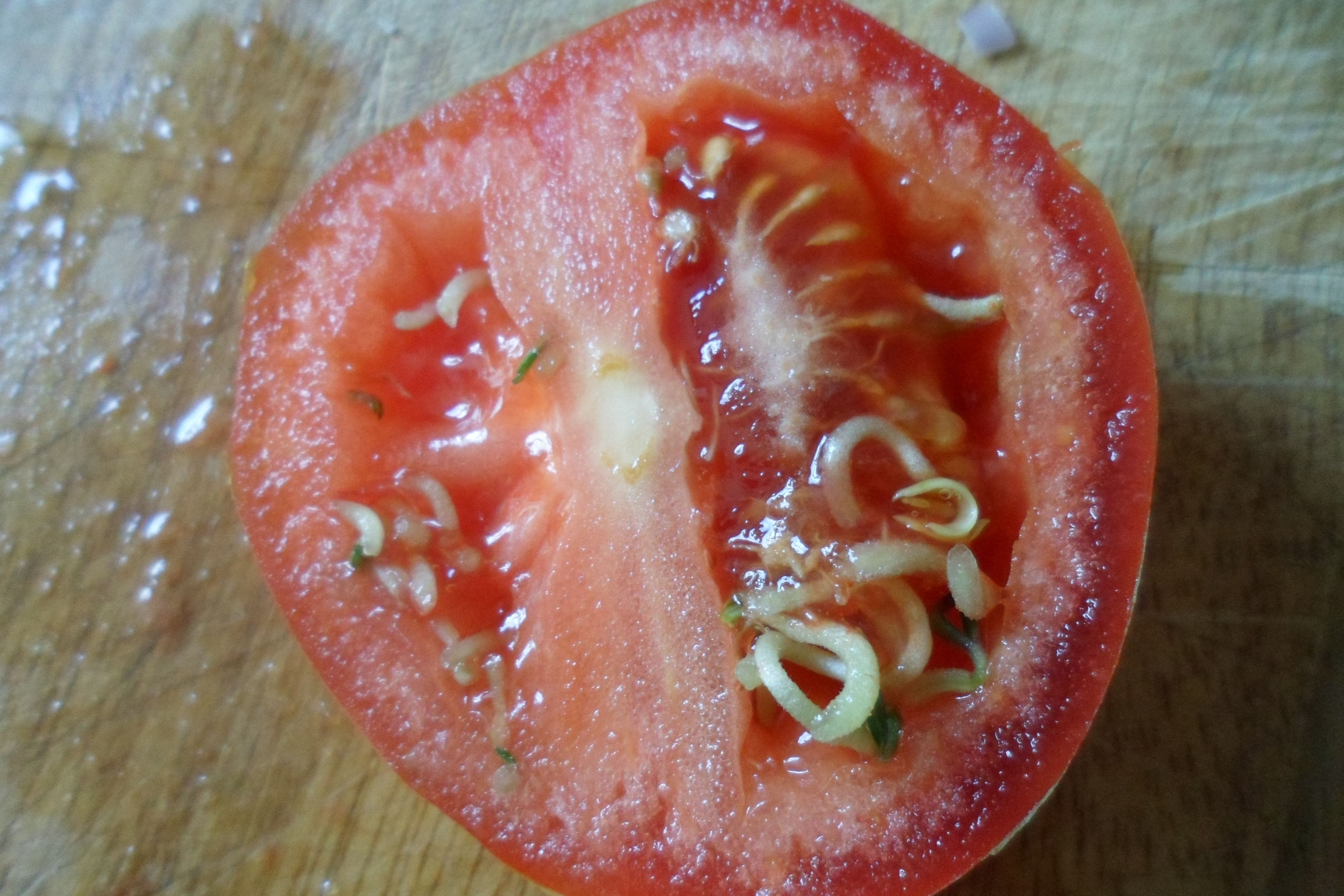 This is a tomato that I cut open. Some of the seeds have  germinated inside the fruit.