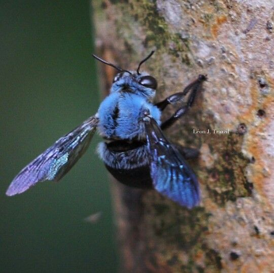 blue carpenter bees | Cool Insects! | Carpenter Bee, Bee ...