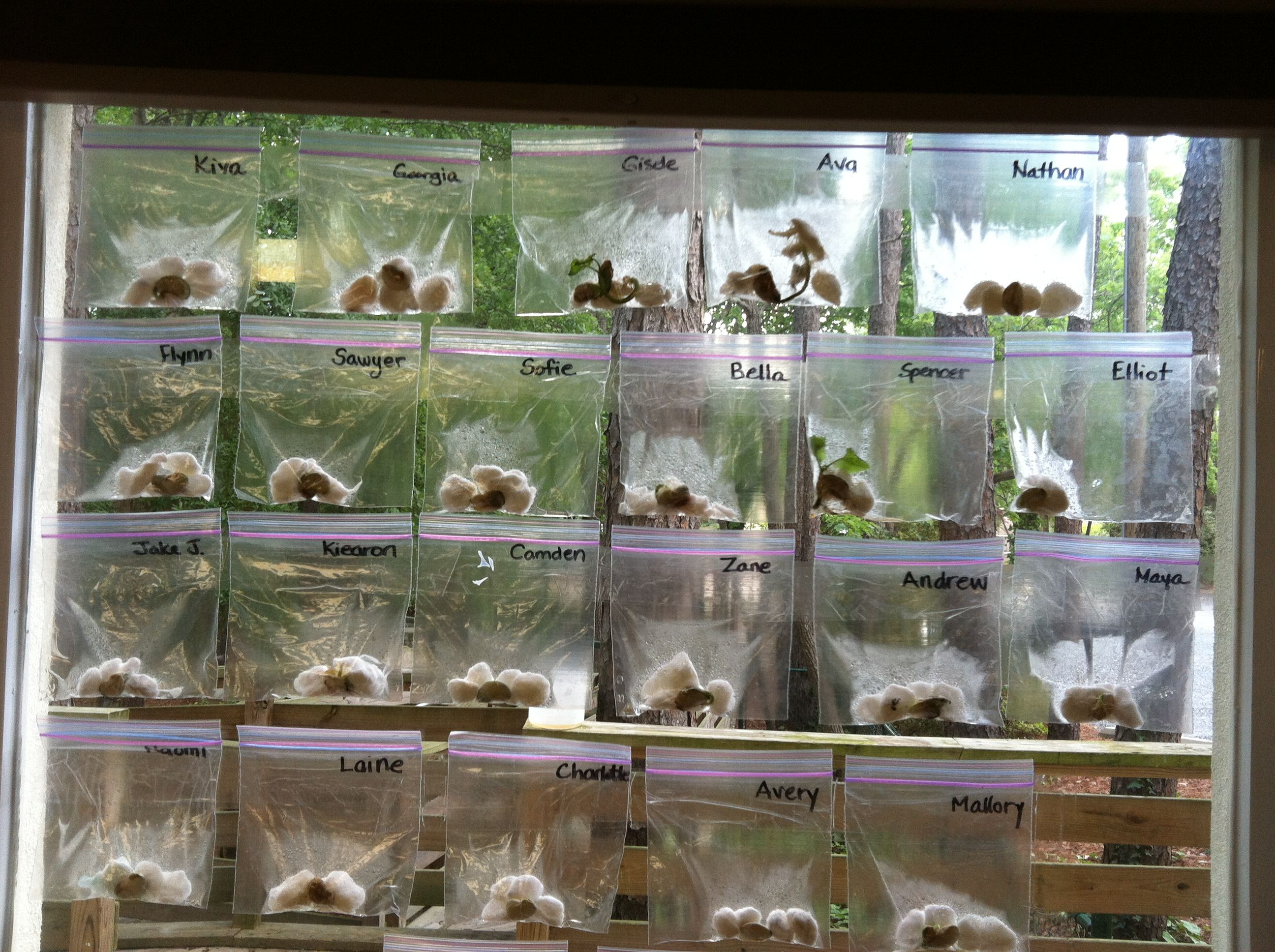 Lima Beans Growing In Ziploc Bags Taped To The Window For Sunlight Keeps Them From Little Hands