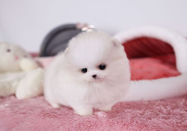 Sweet Adorable Puppy Part Two Pomeranian Puppy Pomeranian Puppy Teacup Teacup Pomeranian