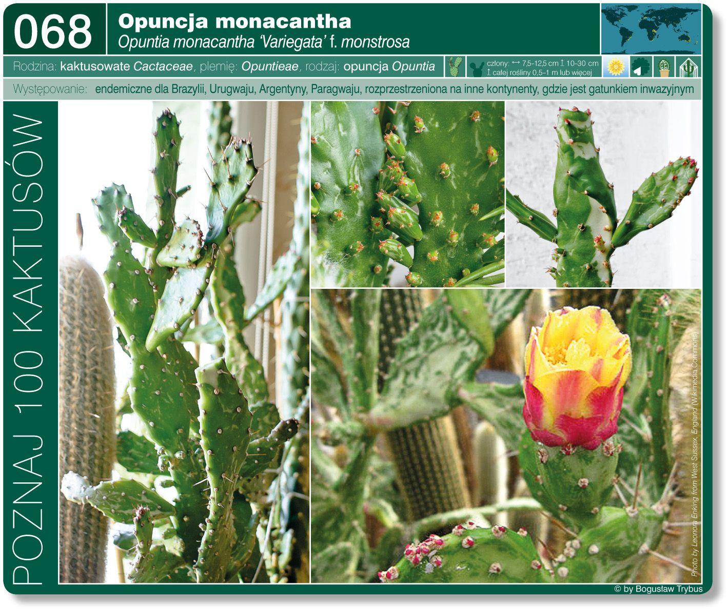 Opuntia Monacantha Variegata F Monstrosa Plantas Suculentas Plantas Suculentas