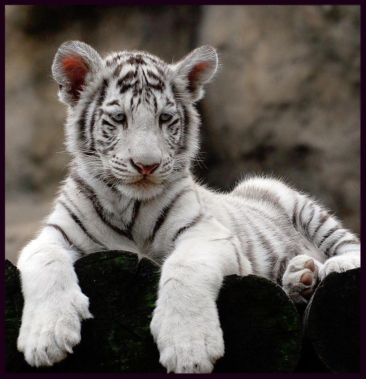 These Paws Made Me Think Of The Man Hands Episode Of Seinfeld Cute Tiger Cubs Cute Tigers Cats