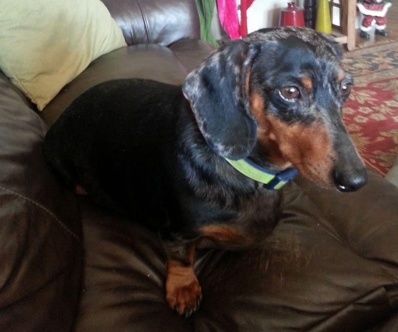 Petfinder Adoptable Dog Dachshund Tulsa Ok Siren