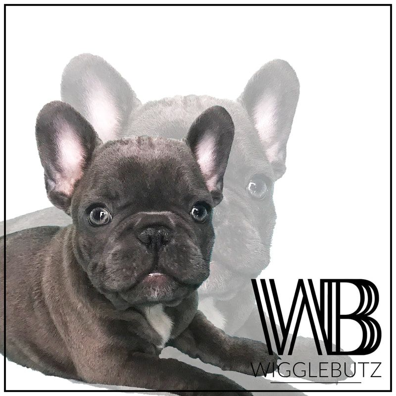 Pin On Wigglebutz French Bulldogs