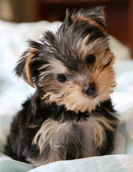 Seven Small Dog Breeds Made for Laps Yorkie puppy, Dog