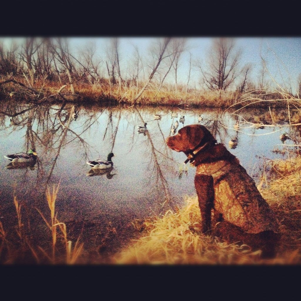 Drake my chocolate lab duck hunting. Looks like a painting