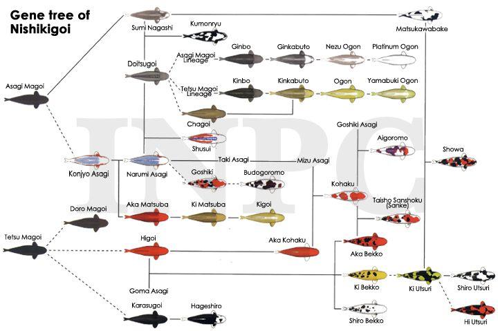 Gene Tree Of Nishikigoi Koi Fish Colors Koi Koi Fish