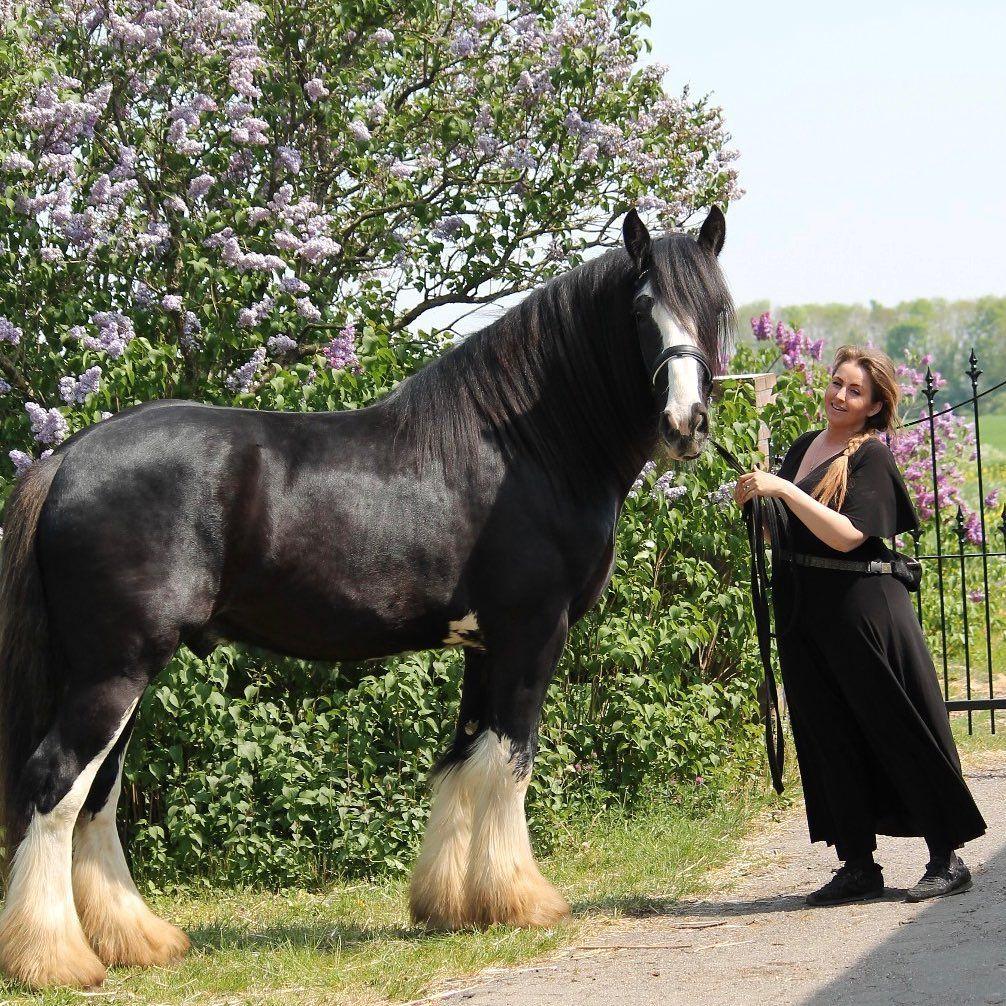 Horseshows Easyhorse Fallhorse Christmashorse Cutehorses Ofhorses Horsedecorideas Myhorse Horsefunny Horsememe Horses Shire Horse Largest Horse Breed [ 1006 x 1006 Pixel ]
