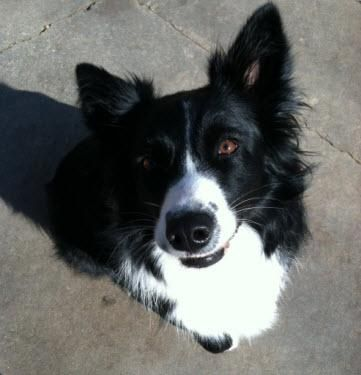 Imgs For Black And White Australian Shepherd With Tail