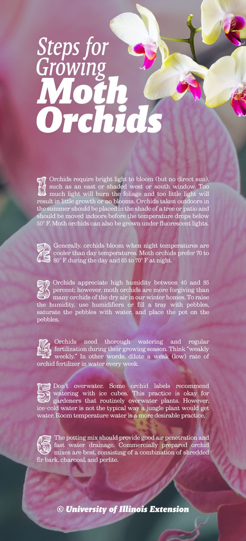 Learn the basics for caring for your moth orchid orchids