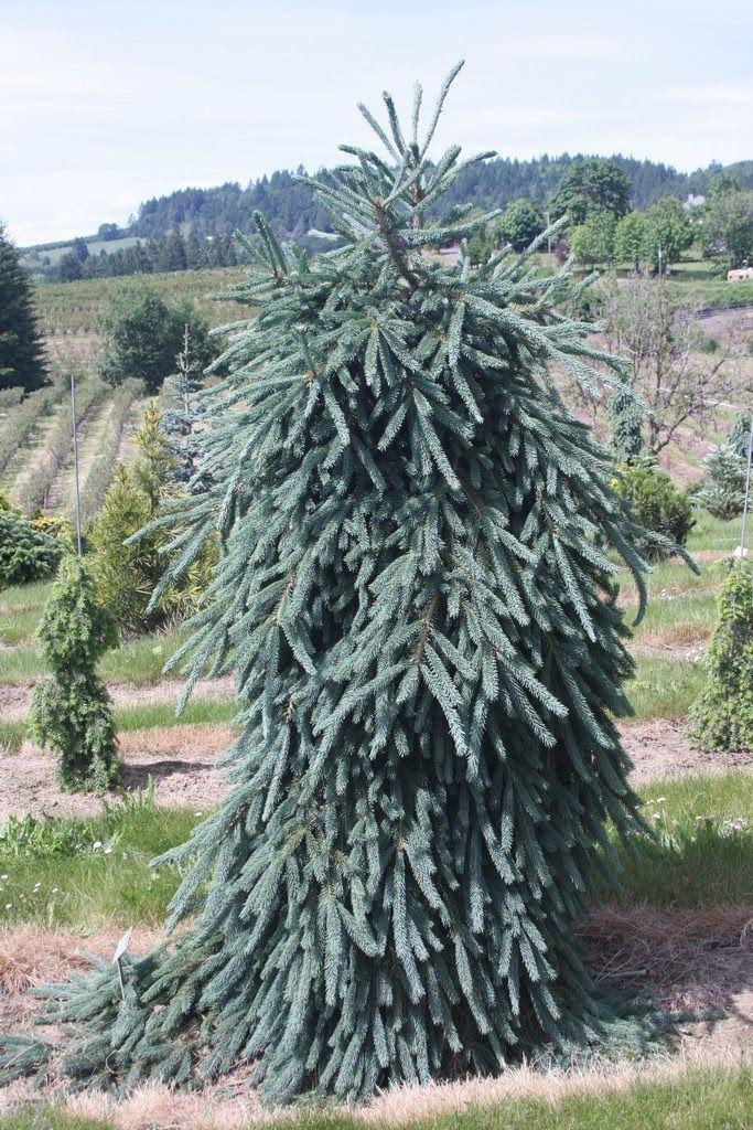 Picea glauca 39 ketch harbor 39 iglaki pinterest more for Unusual small trees
