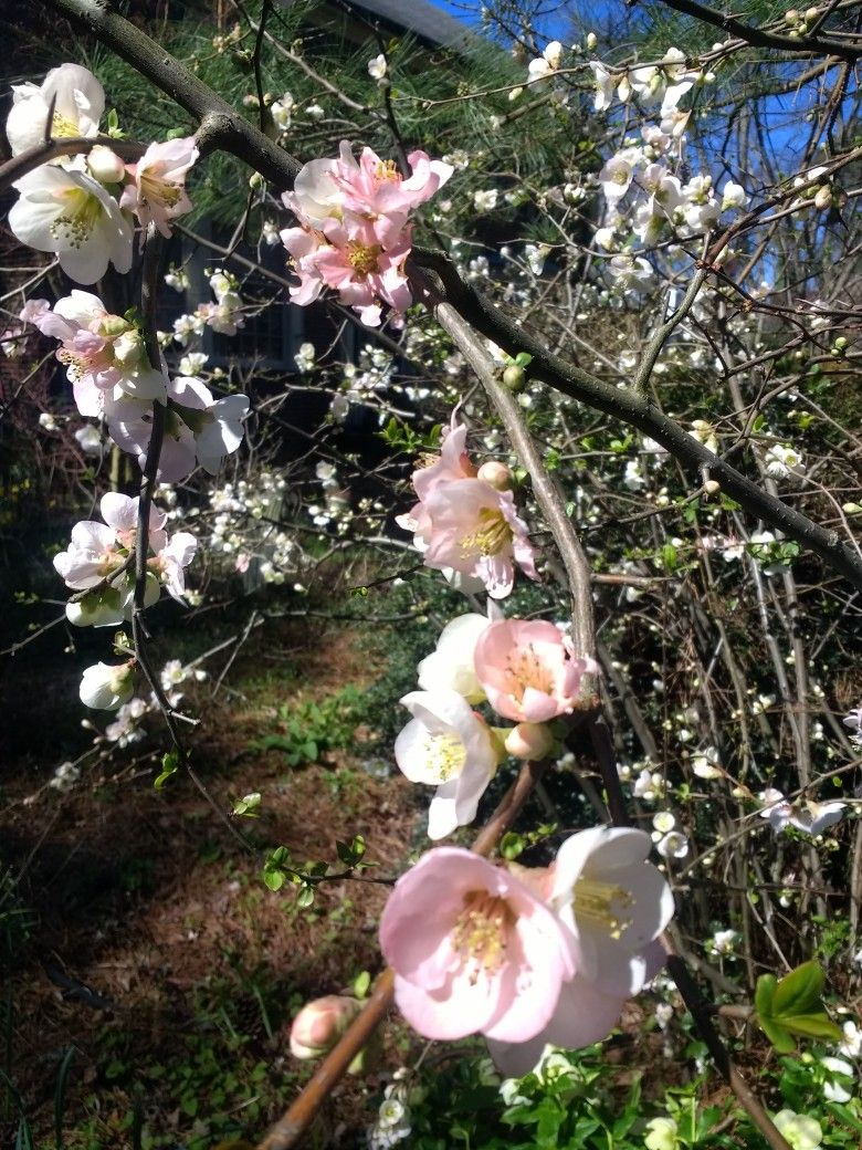 Picture of Live Flowering Quince (pink) aka Chaenomeles hyb. 'Toyo Nishiki' Plant Fit 5 Gallon Pot