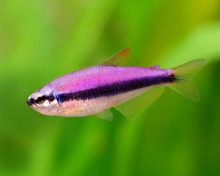 19 Purple Emperor Tetra 2cm 4cm Tetra Fish Tropical Fish Tanks Beautiful Tropical Fish