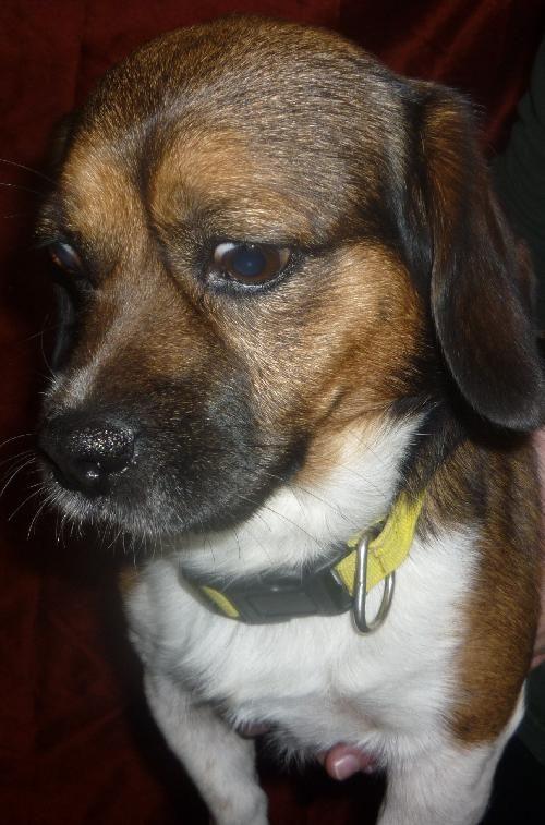 Dog Finder Adopt A Dog Or Cat Near You Dogtime Beagle Dog Beagle Dog Adoption